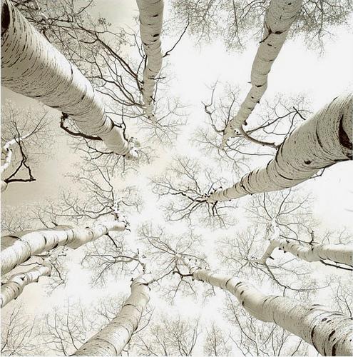 """Silver Birch""  Photo by Adam Brock"